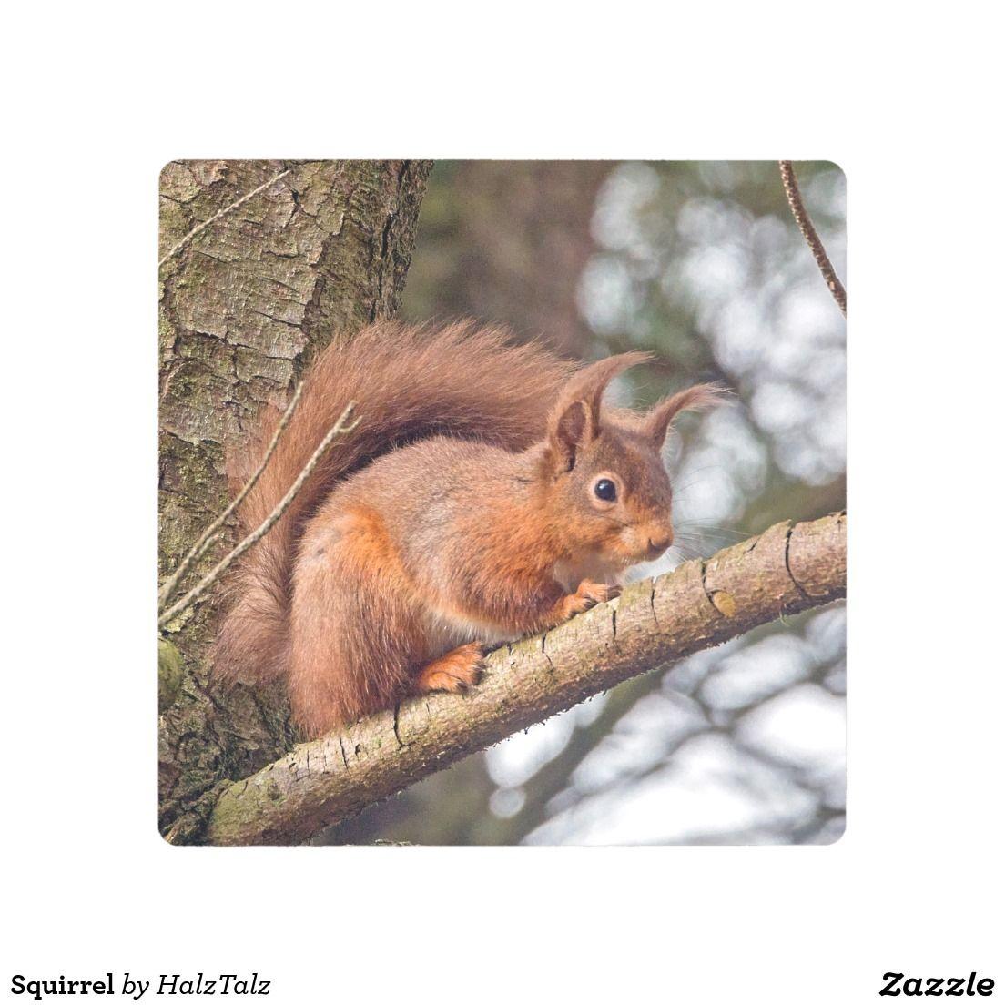 Squirrel Metal Photo Print Squirrel Pictures Red Squirrel Animal Canvas