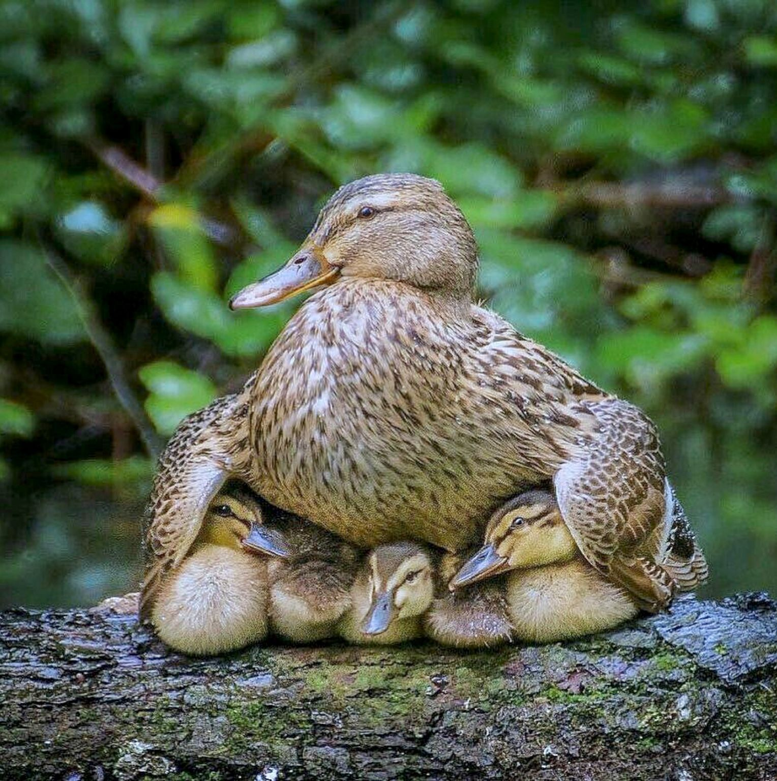 A Female Mallard Shelters Her Ducklings Under Her Wings