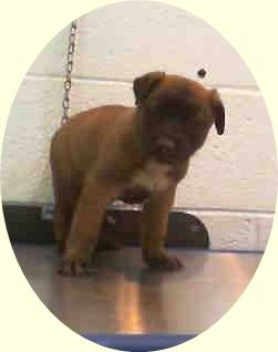 HUEY (A1675242) I am a neutered male brown German Shepherd Dog mix. The shelter staff think I am about 8 weeks old and I weigh 6 pounds. I was found as a stray and I may be available for adoption on 01/25/2015. — hier: Miami Dade County Animal Services. https://www.facebook.com/urgentdogsofmiami/photos/pb.191859757515102.-2207520000.1422214403./916722631695474/?type=3&theater