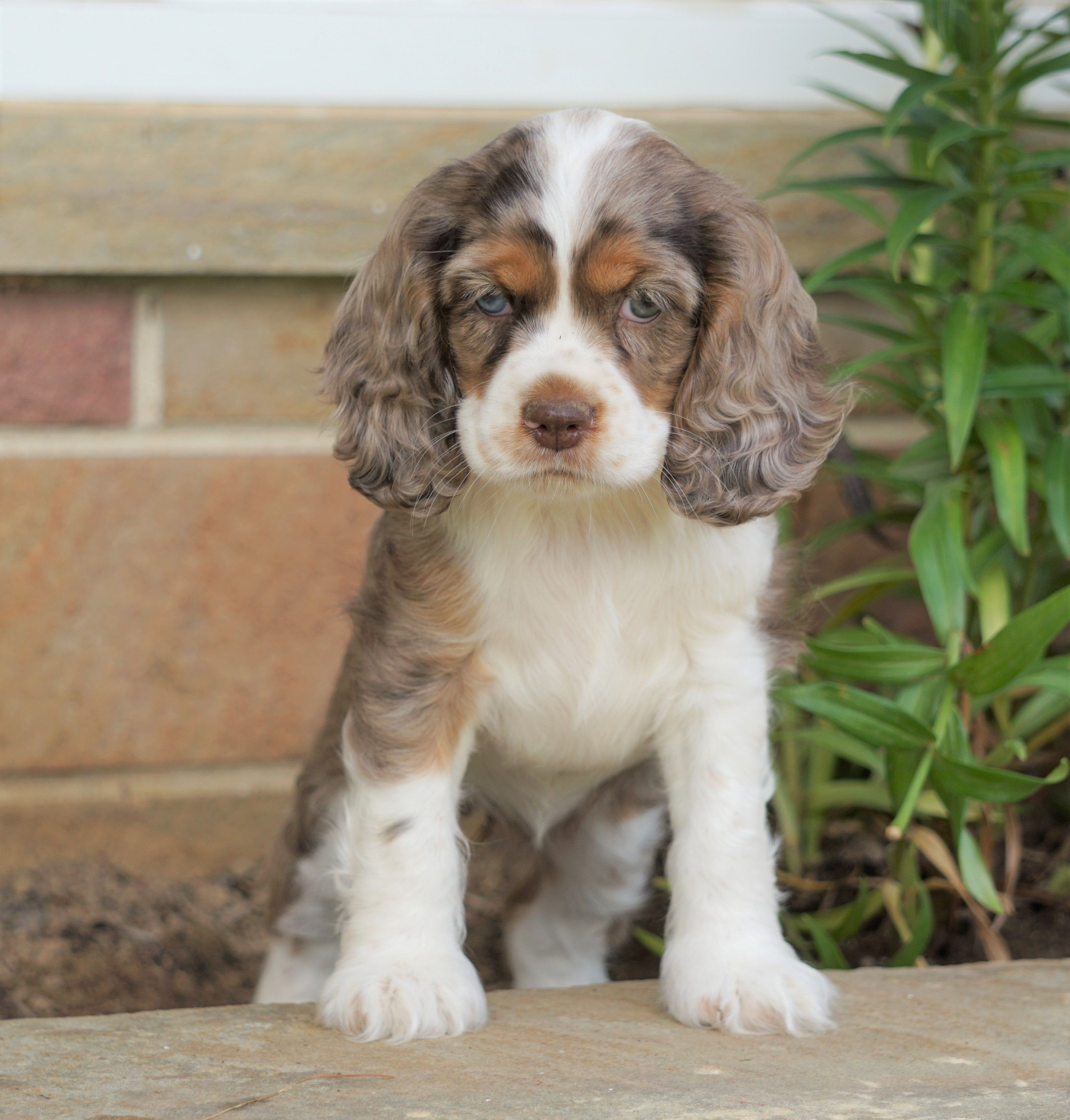 Dogs Image By Sue Braswell Spaniel Puppies Cocker Spaniel Puppies Lancaster Puppies