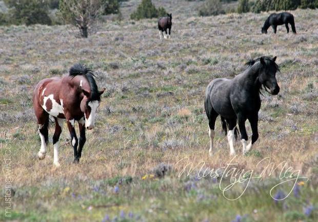 black and brown wild mustangs by Mustang Meg