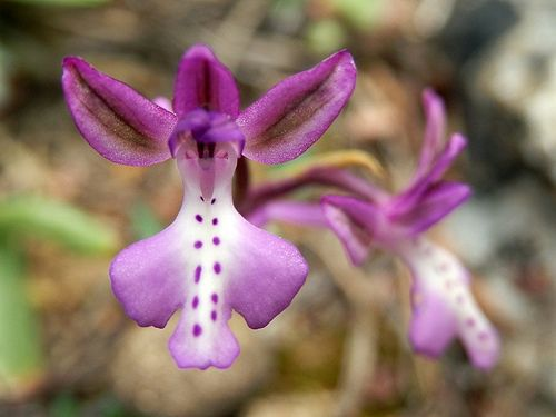 Orchis anatolica - Flickr - Photo Sharing!