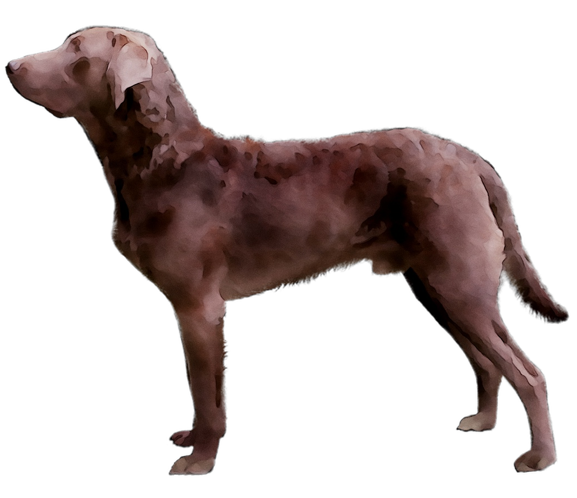 Pin by freepngclipart on Images Dog breeds, Retriever