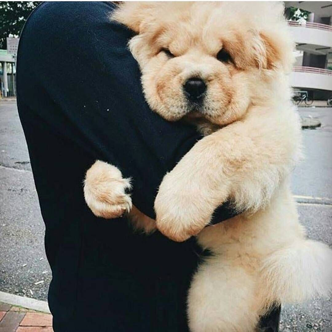 Oldest Dog Breed In The World EXOTIC INSIDE Pup Dog - This instagram chow chow looks like a fluffy potato and its so cute it doesnt even look real