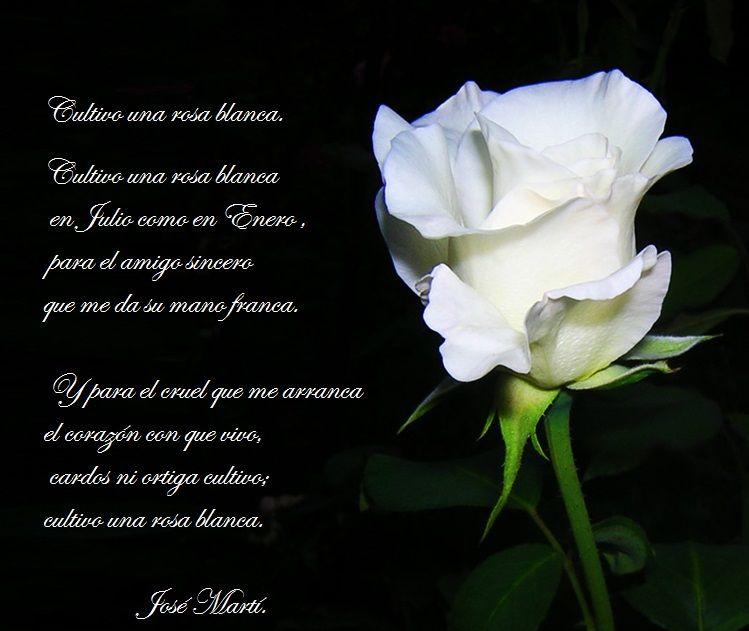 Cultivo Una Rosa Blanca De Jose Marti Rosas Blancas Saludos De Buenos Dias Poemas