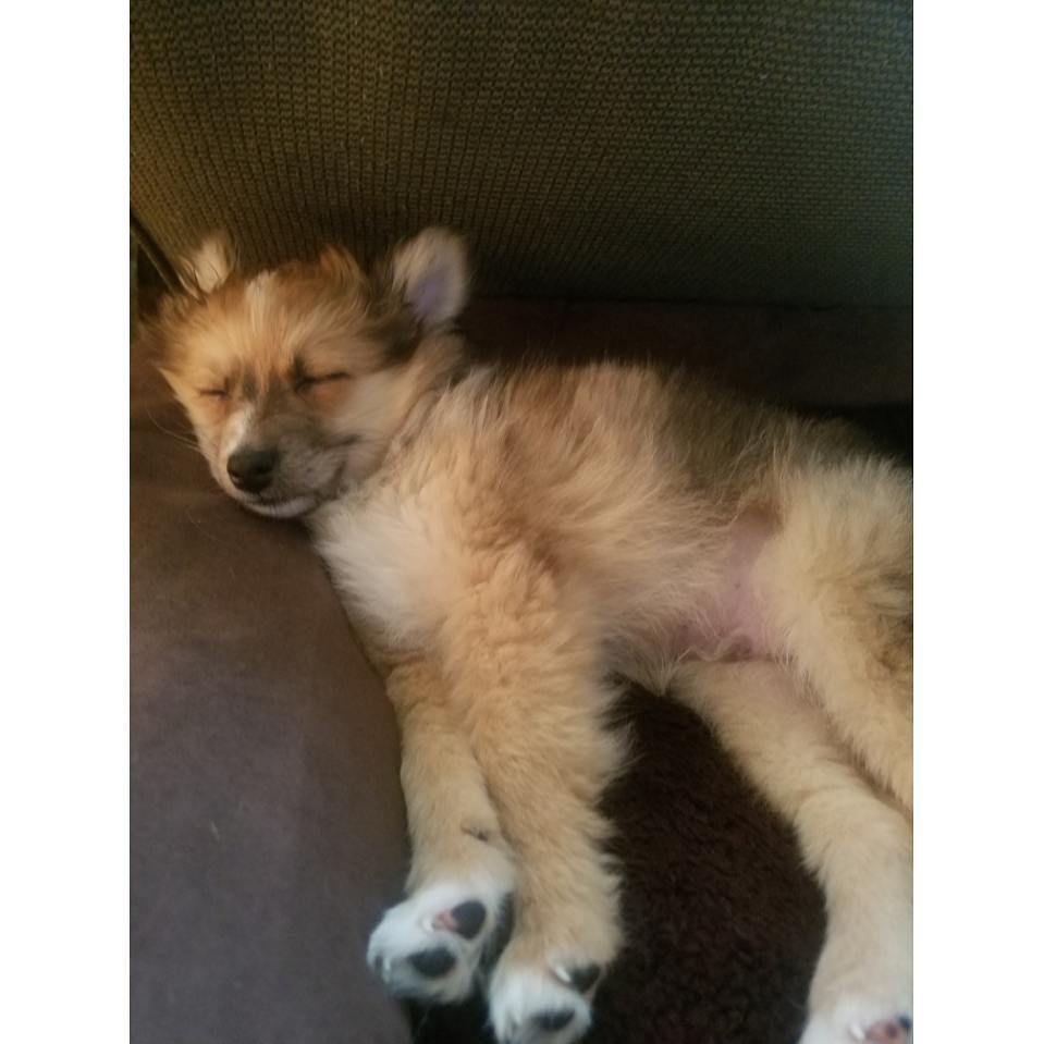 Aussie Pom Charles Hybrid Dogs Shepherd Mix Dog Australian