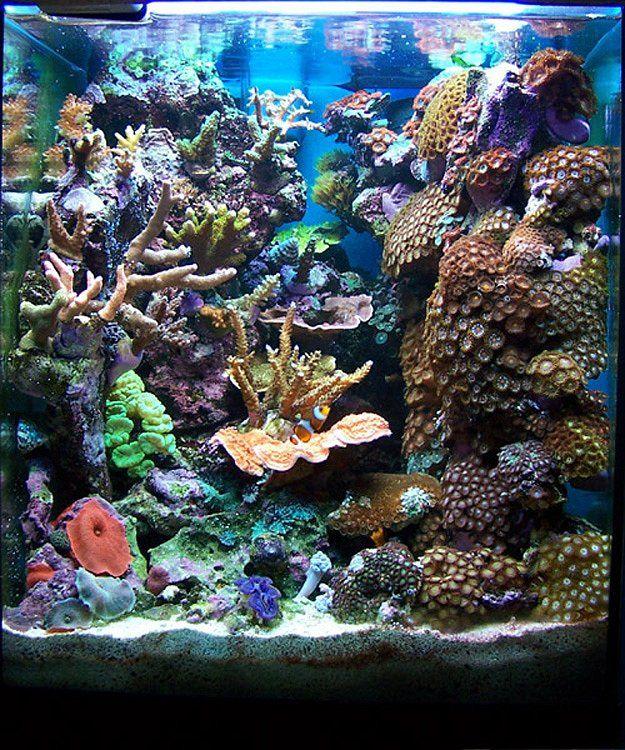 Ignasi torralba 39 s 16 gallon nano reef fish tank for Salzwasser aquarium fische