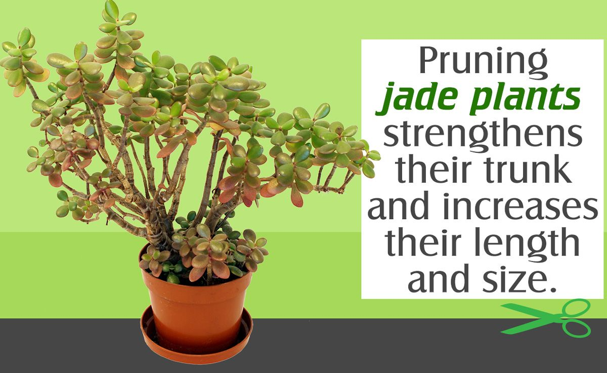 With Small Potted Plants Pruning Is Needed To Reduce The Leaf Coverage And Maintain A Pleasing Appearance The Jade Plant Care Jade Plants Jade Plant Pruning