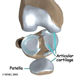 Hyaline Cartilage, also called articular cartilage. covers the ends of opposing bones. With the help of synovial fluid, it provides a smooth articulating surface in all synovial joints. *Hyaline cartilage has no blood or nerve supply of its own & must get its nutrition from the synovial fluid. Therefore, when it's damaged, it's unable to repair itself.