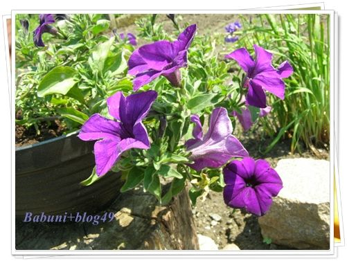 Babcia Radzi Cos Surfinia Petunia Krolowa Balkonow Petunias Plants