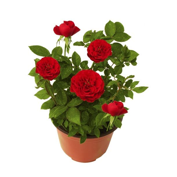 Planta rosal coster 6 flora and gardens for Varias plantas en una maceta