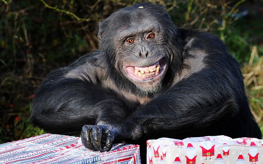 A delighted-looking chimpanzee gets some early Christmas presents at ZSL Whipsnade Zoo