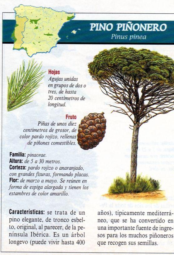 Pino Piñonero | Spain | Pinterest | Naturaleza, Pino y España