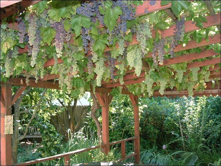 Grapes Are Not Just For The Garden Anymore. See How To Use This