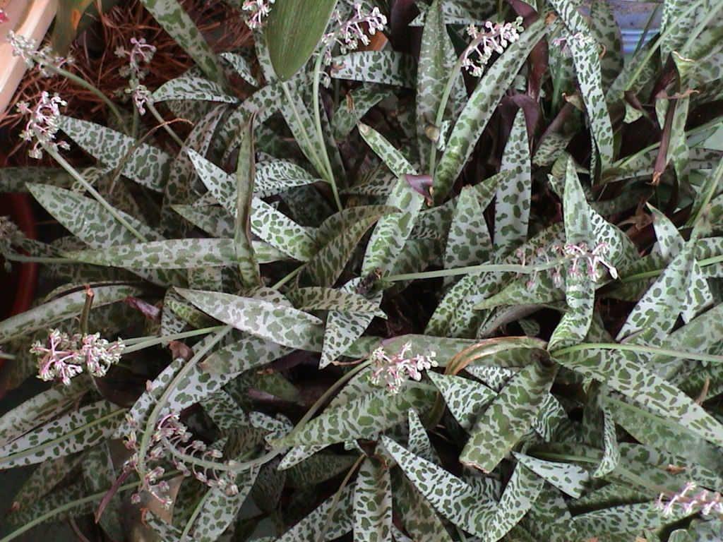 Ledebouria Socialis Silver Squill Silver Plant