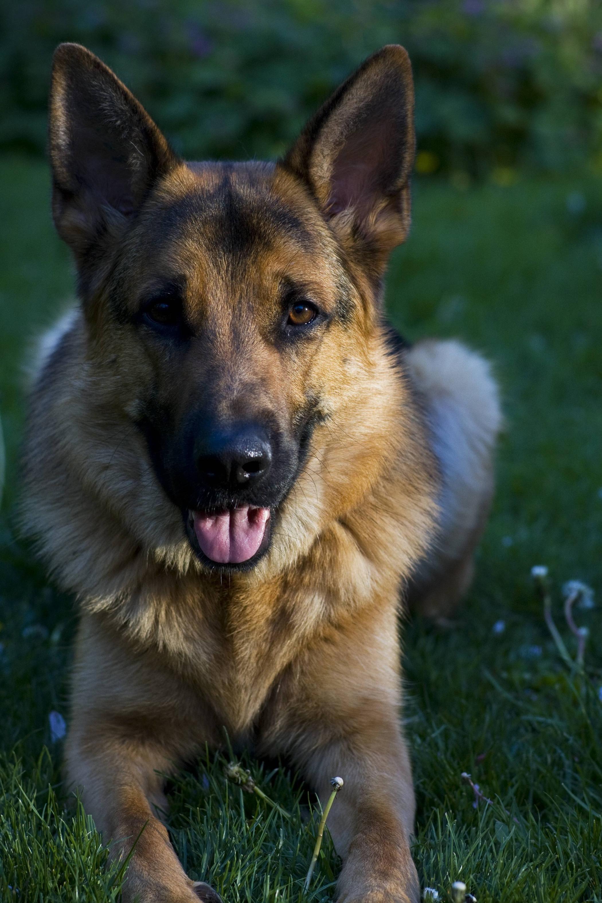 German Shepherd Dog Alsatian Canis Lupis Familiaris Cute