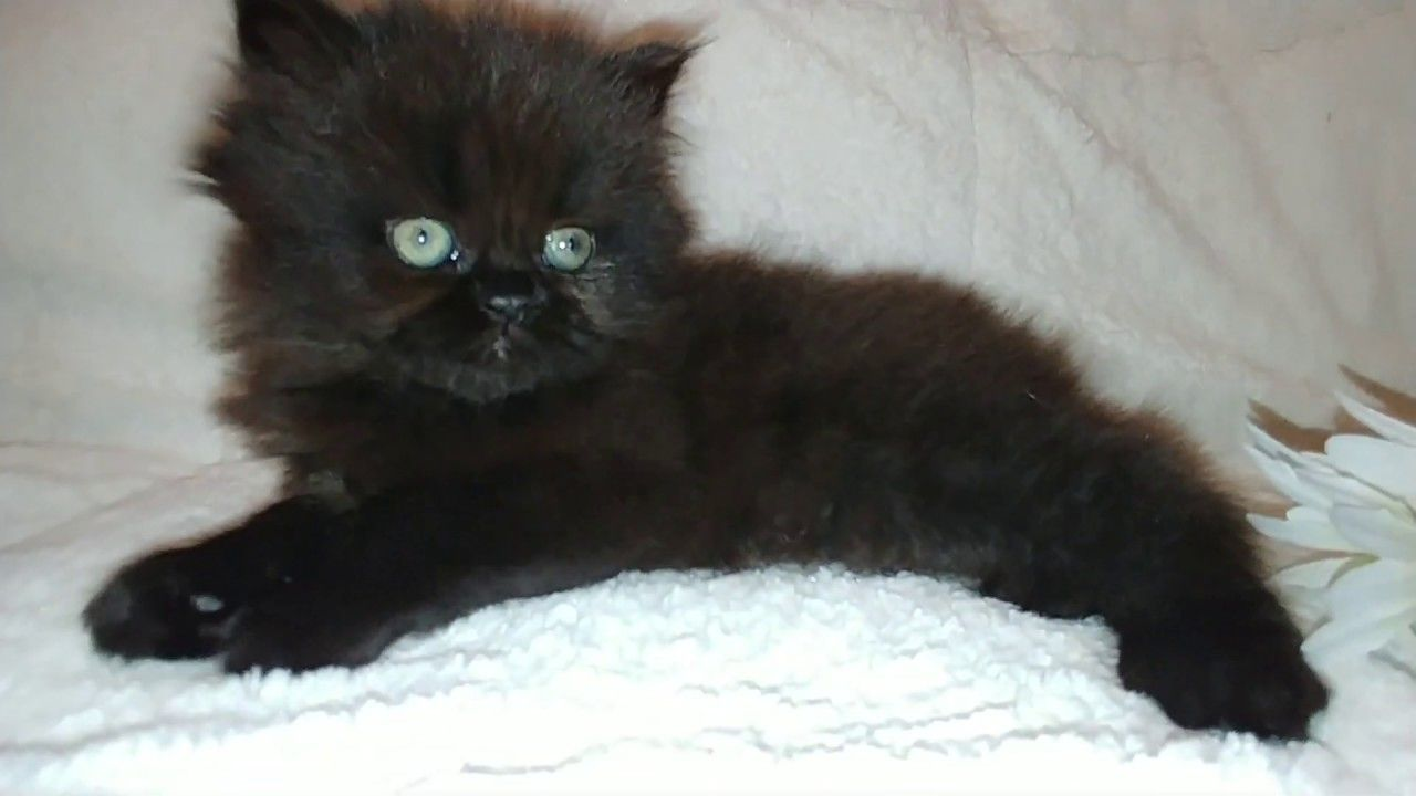Cfa Chocolate Smoke Female Persian Kitten Persian Kittens Kitten Persian