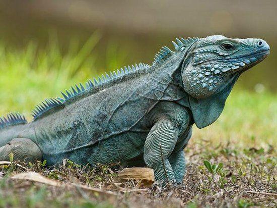 Baby Iguana Pictures