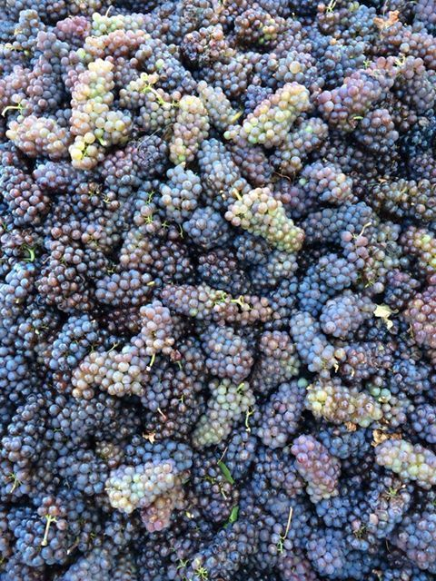 2013 Pinot Noir grapes at Brys Estate