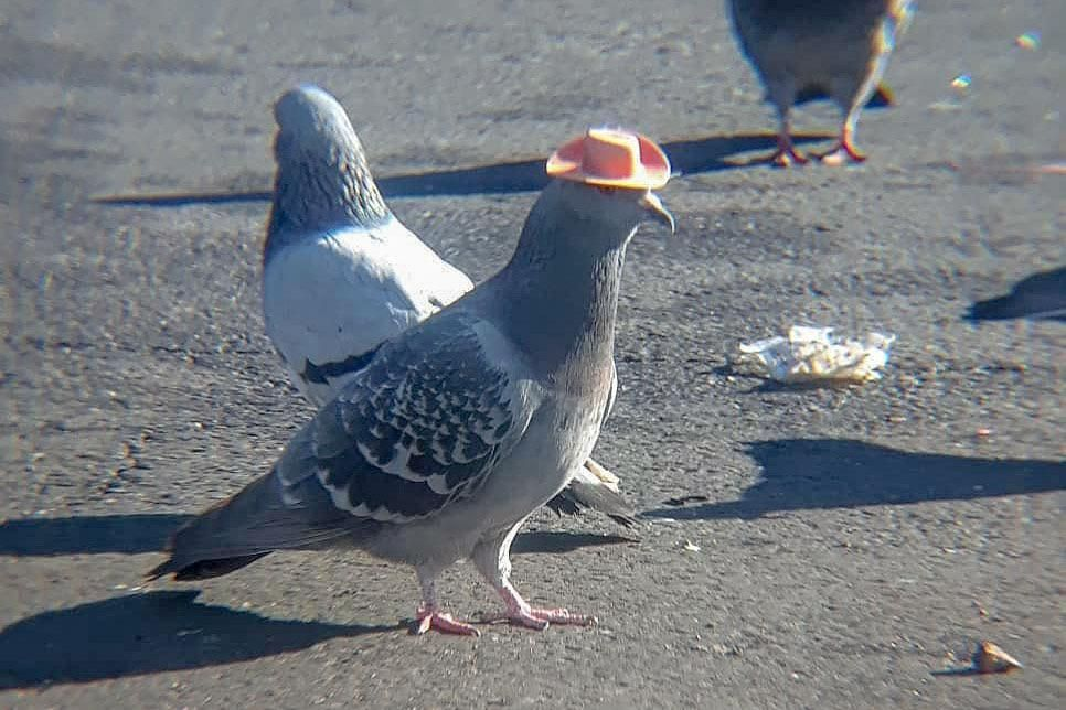 Pin by sadlittlegreymouse on pigeon in 2020   Pigeon funny ...