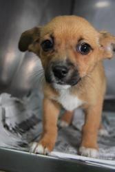 Adopt Marley On Corgi Chihuahua Mix Chihuahua Mix Puppies Cute
