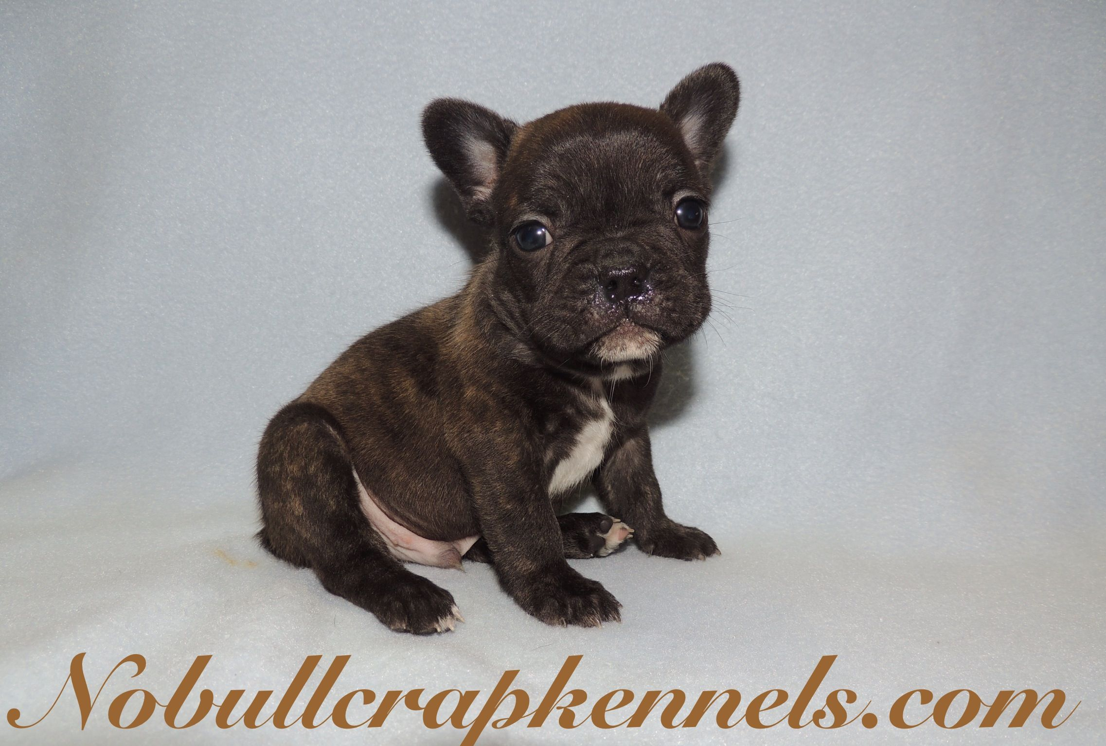 Brindle Chocolate Carrier French Bulldog Puppy With Images