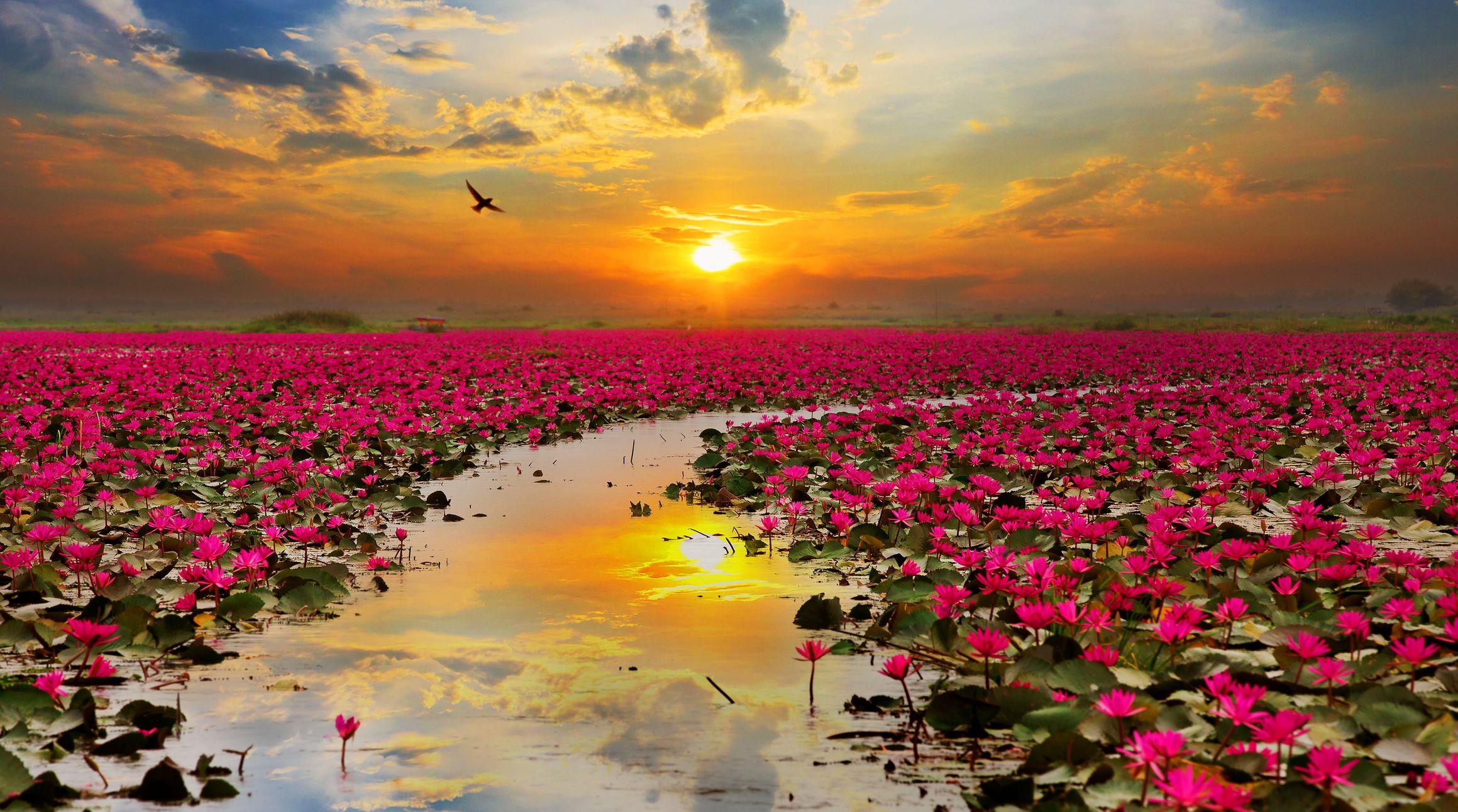 Lotus flowers thailand asien pinterest lotus flowers lotus flowers izmirmasajfo Images
