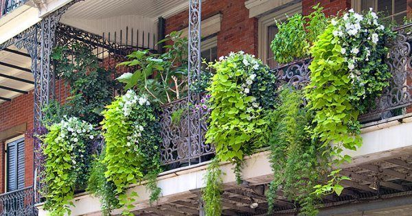 10 Ideas To Decorate Your Balcony Garden With Creepers