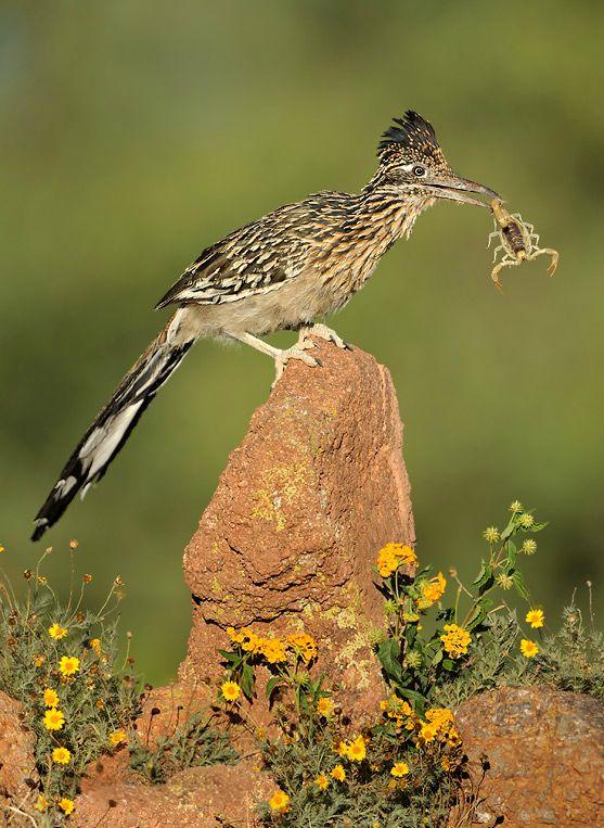 Roadrunner ( Geococcyx Californianus) Caught A Little