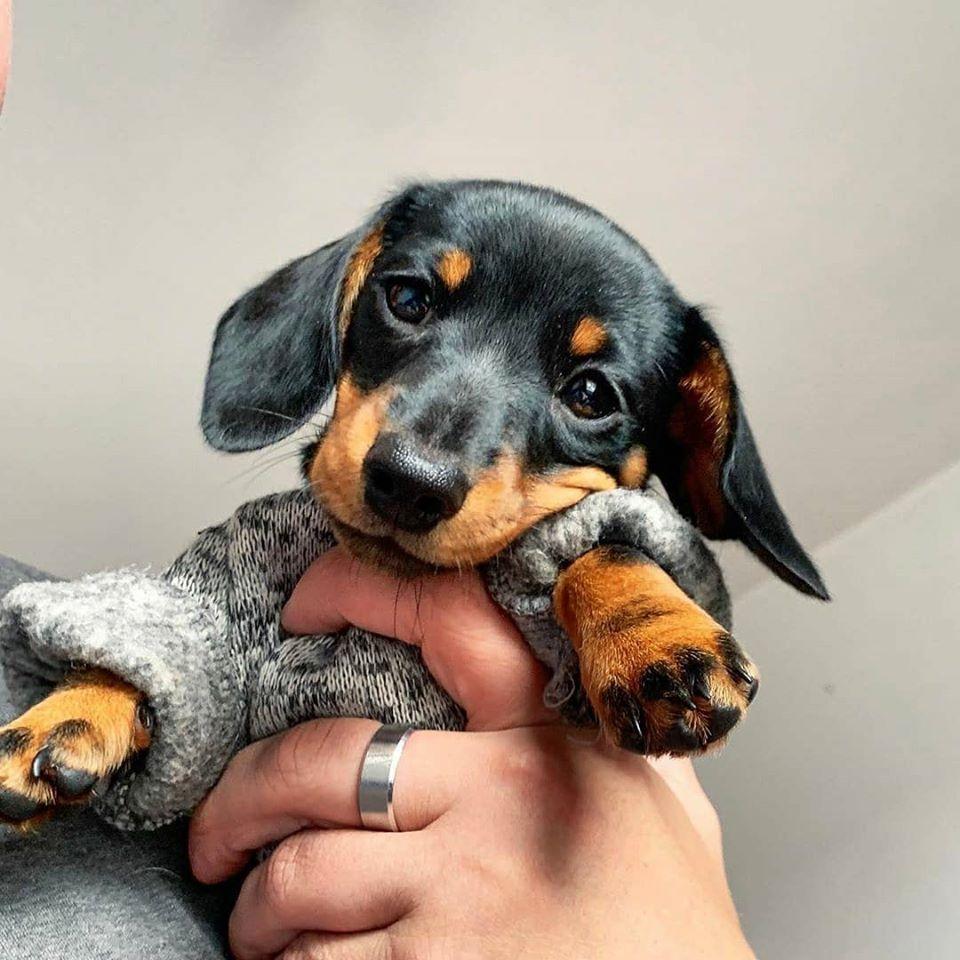 Dachshund Sausagedoglovers Puppiesofinstagram Weeniedog