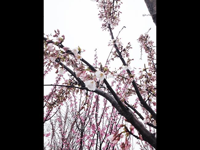 Akebono Cherry Crabapple Tree Big Tree Flowering Trees