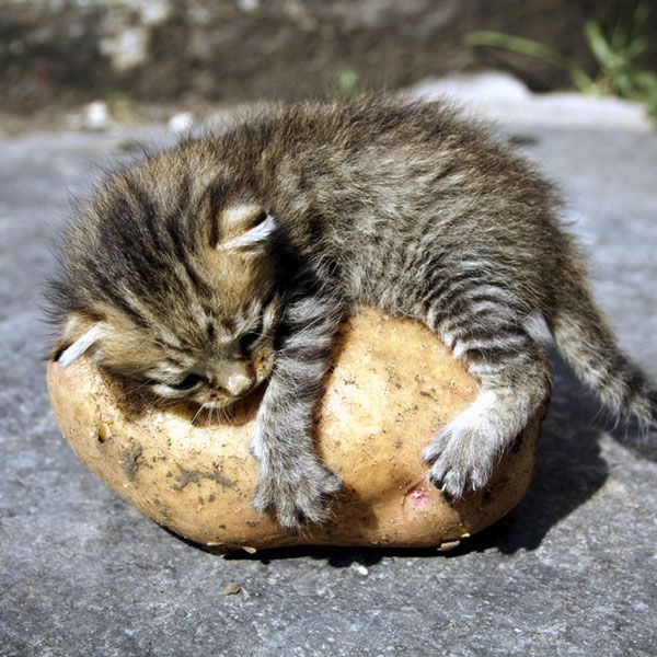 Kitty Sleeping Over A Potato Tags Lazy Cats Animals Funny - 15 hilarious animals whod do anything for your food