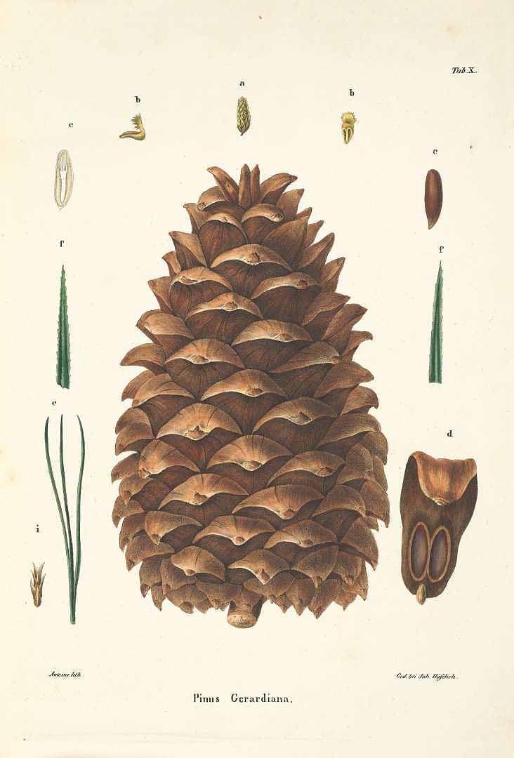Pinus gerardiana Wall. ex D. Don Chilghoza Pine Antoine, F., Die ...