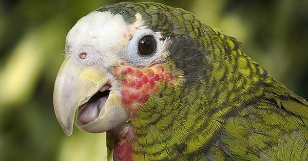 Parrot - Brac Parrot adj best   Parrot, Parrot image, Pet
