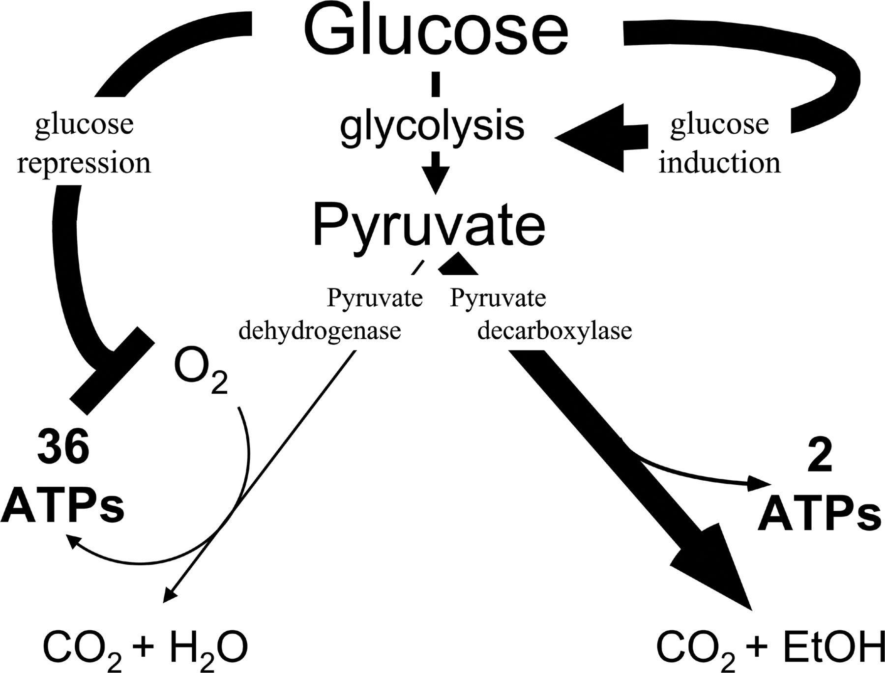 Glucose Metabolism Diagram Glucose As A Hormone Receptor