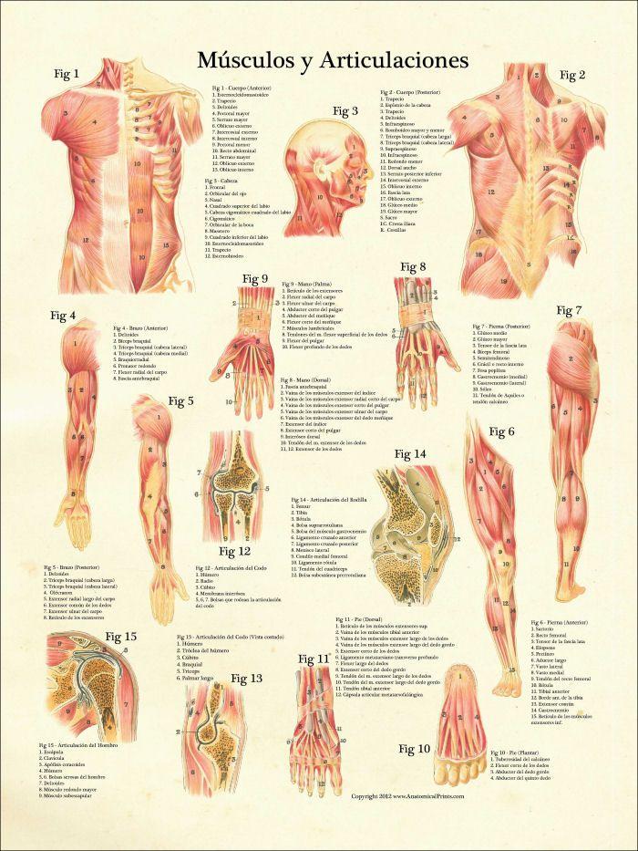 Muscles and Articulations (Músculos y Articulaciones Anatomia) Poster | MedicalKinesiology