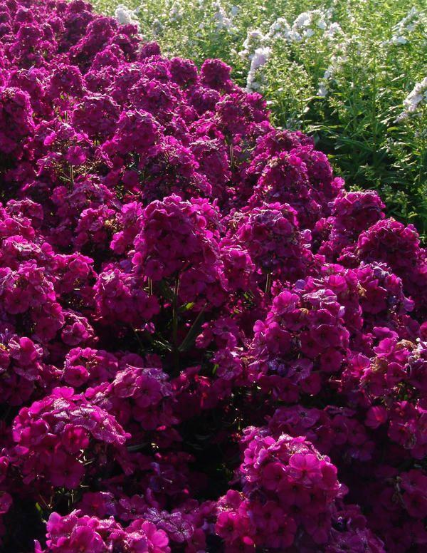 Syysleimu Raving Beauty - Viherpeukalot
