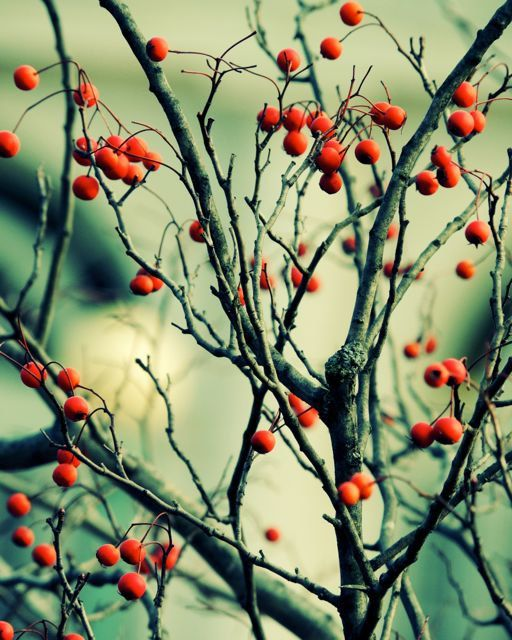 Red Berry Tree Art Photograph  Nature Art  Winter by LilyShihPhoto on Etsy.
