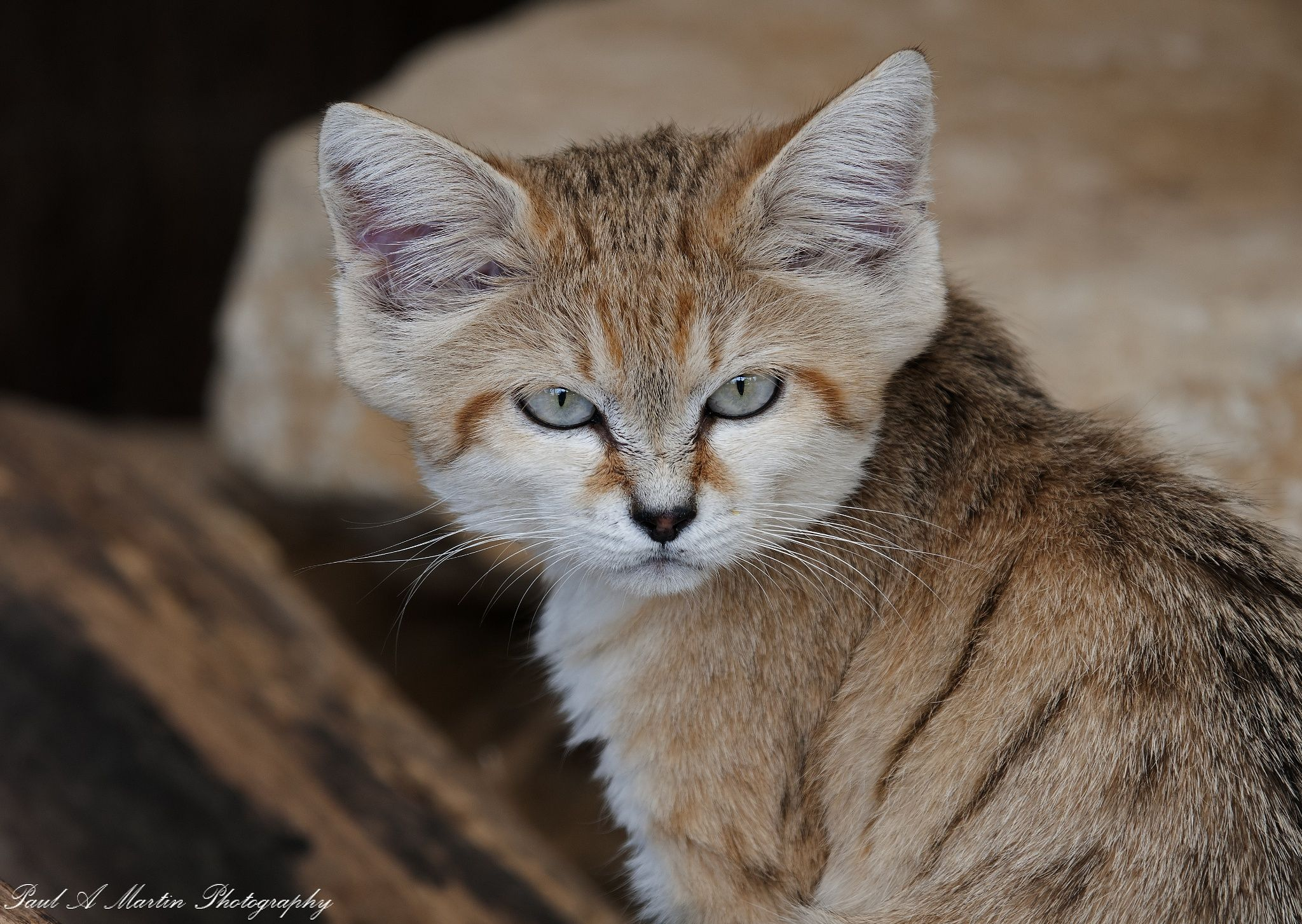 Arabian Sand Cat by Paul Martin / 500px Sand cat, Cats
