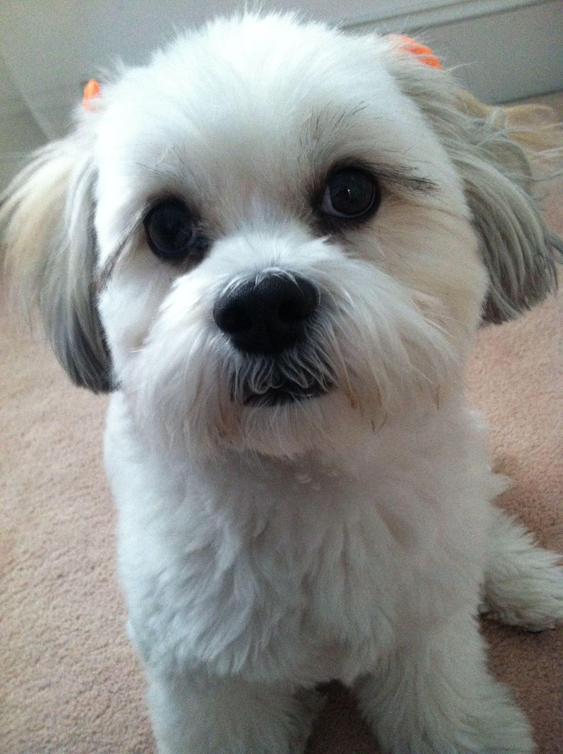 Bichon Shih Tzu So Cute Puppies Pinterest See