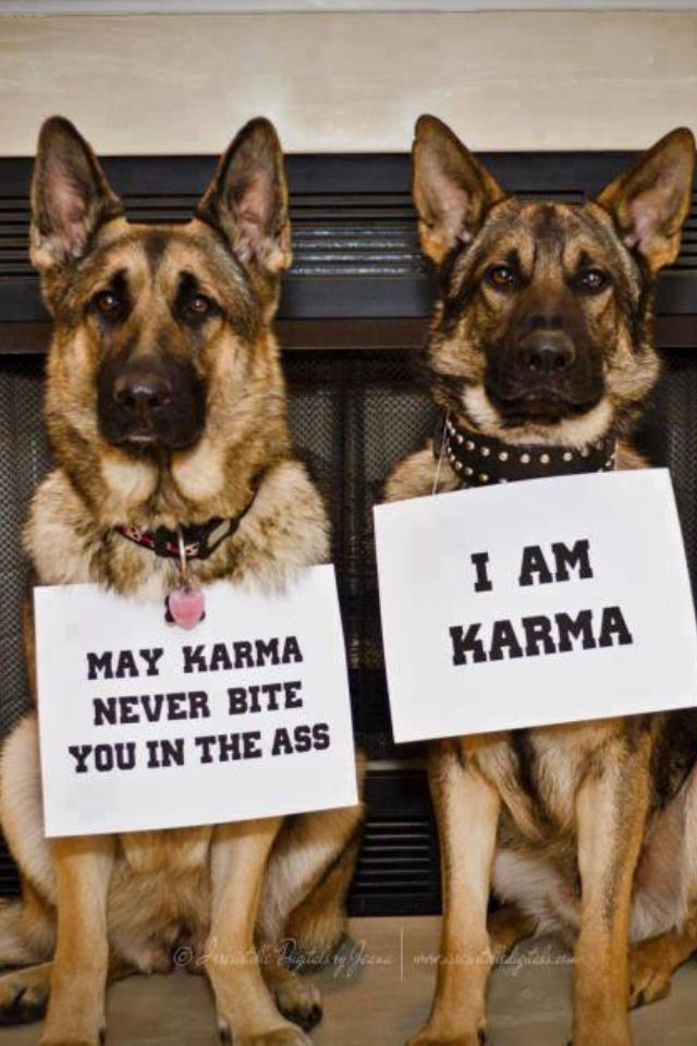 Guilty German Shepherd Can T Hide Shame Funny Animals German