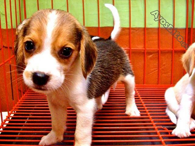 Beagle Female Puppy With Complete Papers Cars And Motorcycles