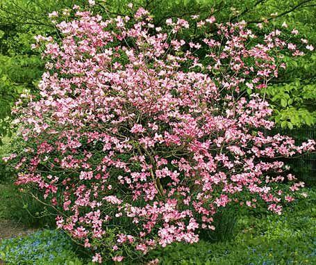 Amerikanischer Blumen Hartriegel Cherokee Chief Garten Garten