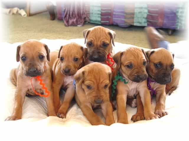 Top Rhodesian Ridgeback Brown Adorable Dog - 5044ea7fa79f0e8dd1fbf3a073768838  2018_396660  .jpg