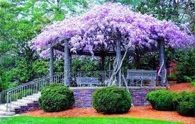 Blue Wisteria Beautiful Gardens Dream Garden Gorgeous Gardens