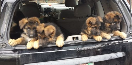A Litter Of German Shepherd Puppies Go To The Vet For The First Time