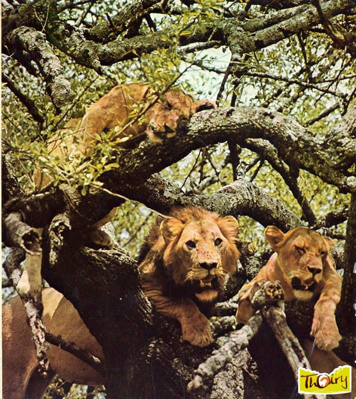 Lions r serve africaine parc zoologique de thoiry for Jardin 5 thoiry