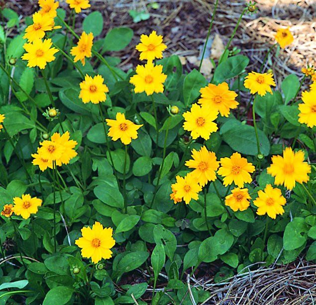 tickseed coreopsis | TICKSEED, MOUSE-EARED COREOPSIS | herbs and ...