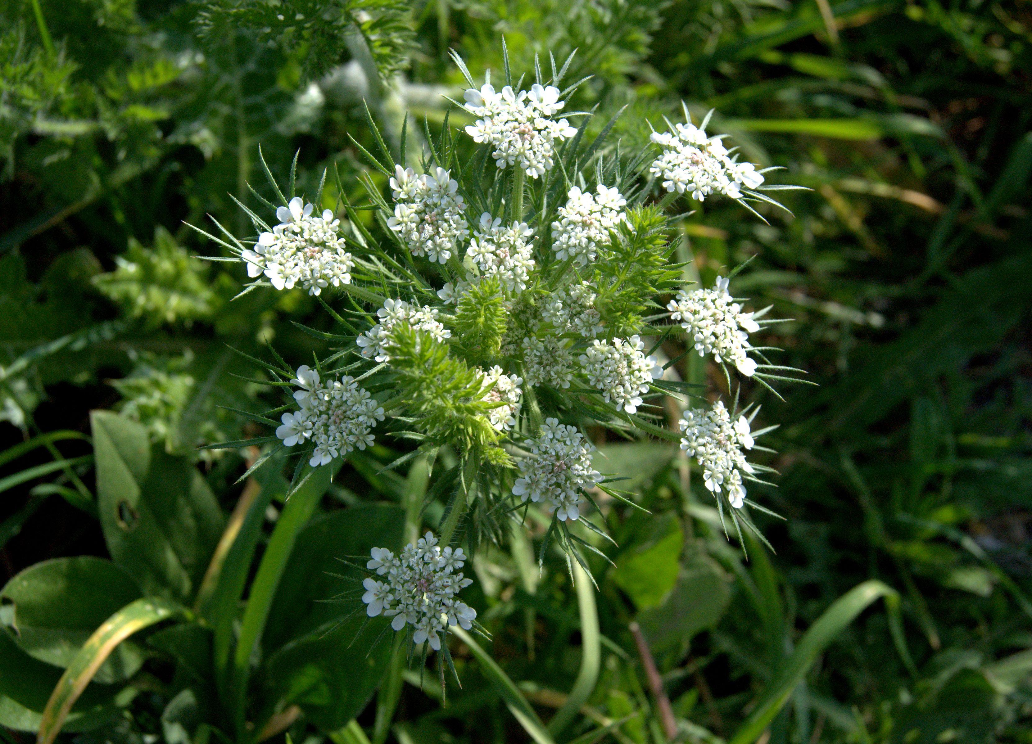 Daucus Carota Zanahoria Silvestre Plantas Silvestres Plantas Medicinales Plantas Se parece a la subespecie silvestre, zanahoria silvestre (ssp. pinterest