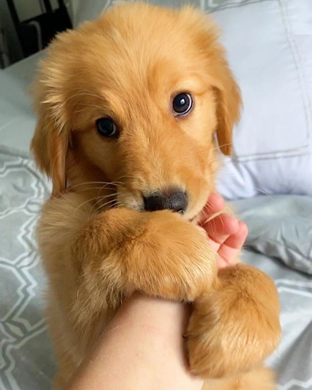 Discover The Golden Retriever Puppies Exercise Needs Golden